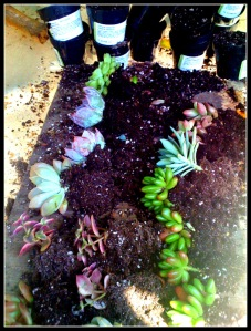 Now prepare the succulents! It's best to use chicks n' hens. Make sure the soil is loose around the roots.